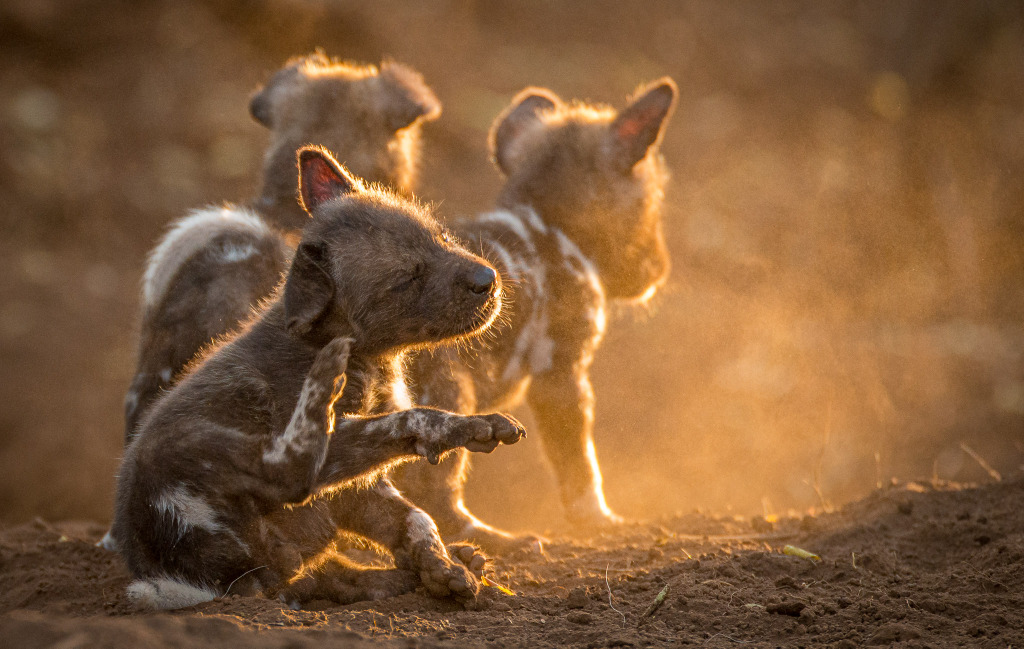 Painted wolf puppies, African wild dog puppies