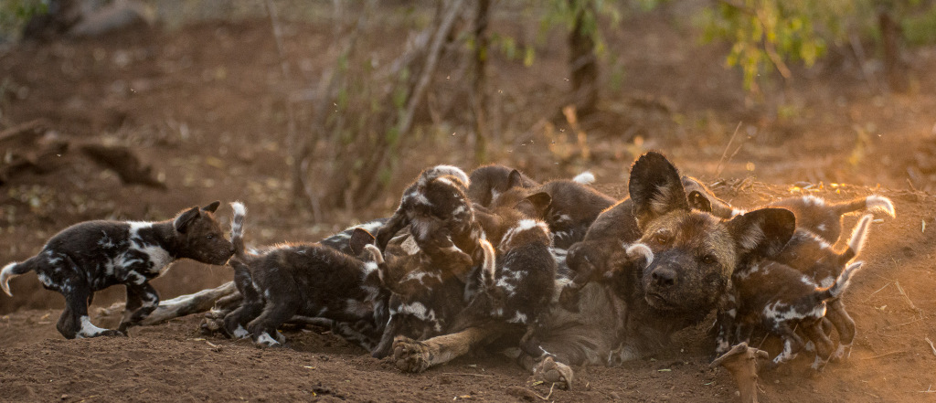 Painted wolf, African wild dog, with puppies at den