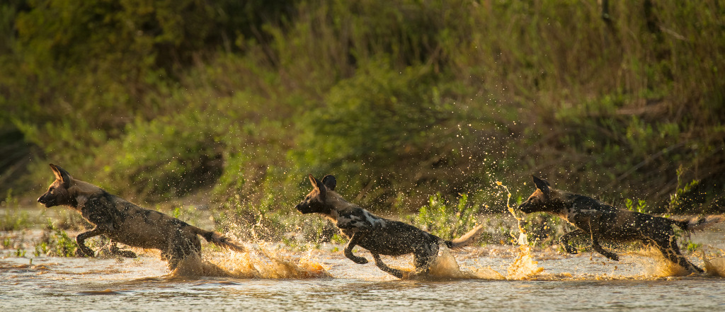 Painted wolves, African wild dogs, running through river