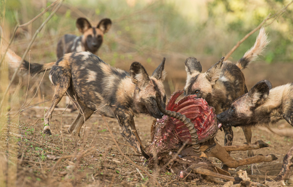 Painted wolves, African wild dogs, eating an impala