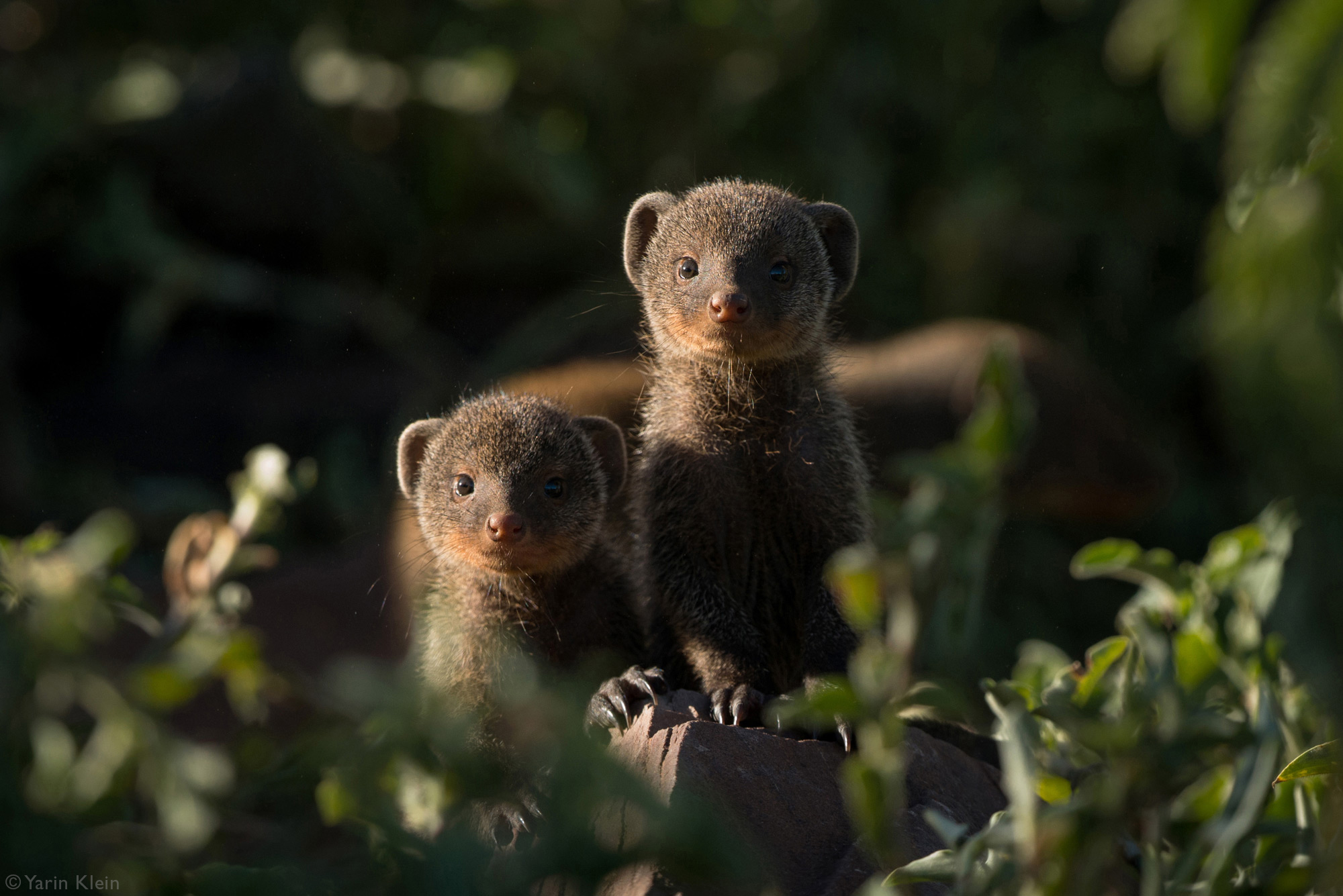 Two juvenile mongooses staring at the camera
