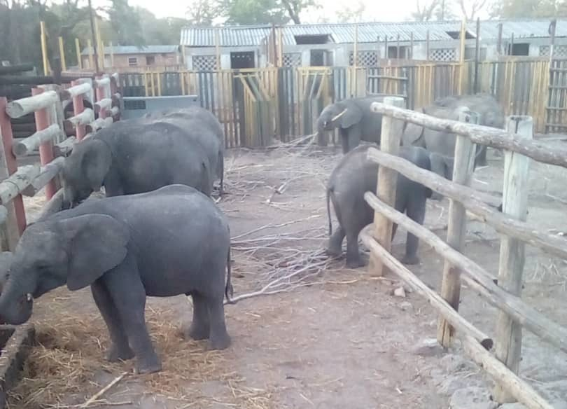 Wild-caught young elephants held captive in a fenced boma in Zimbabwe