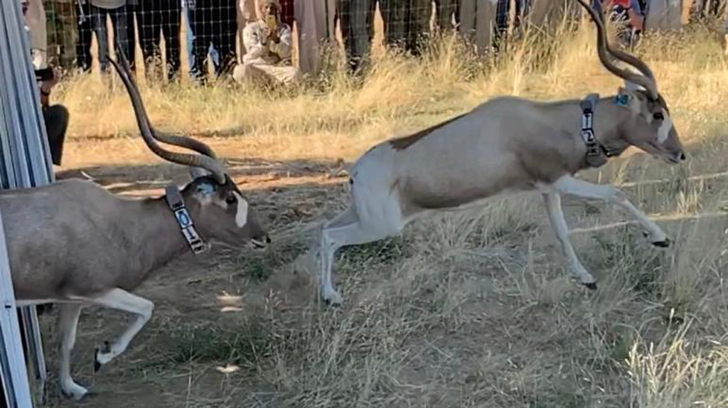 Addax antelope are released into holding boma in Chad