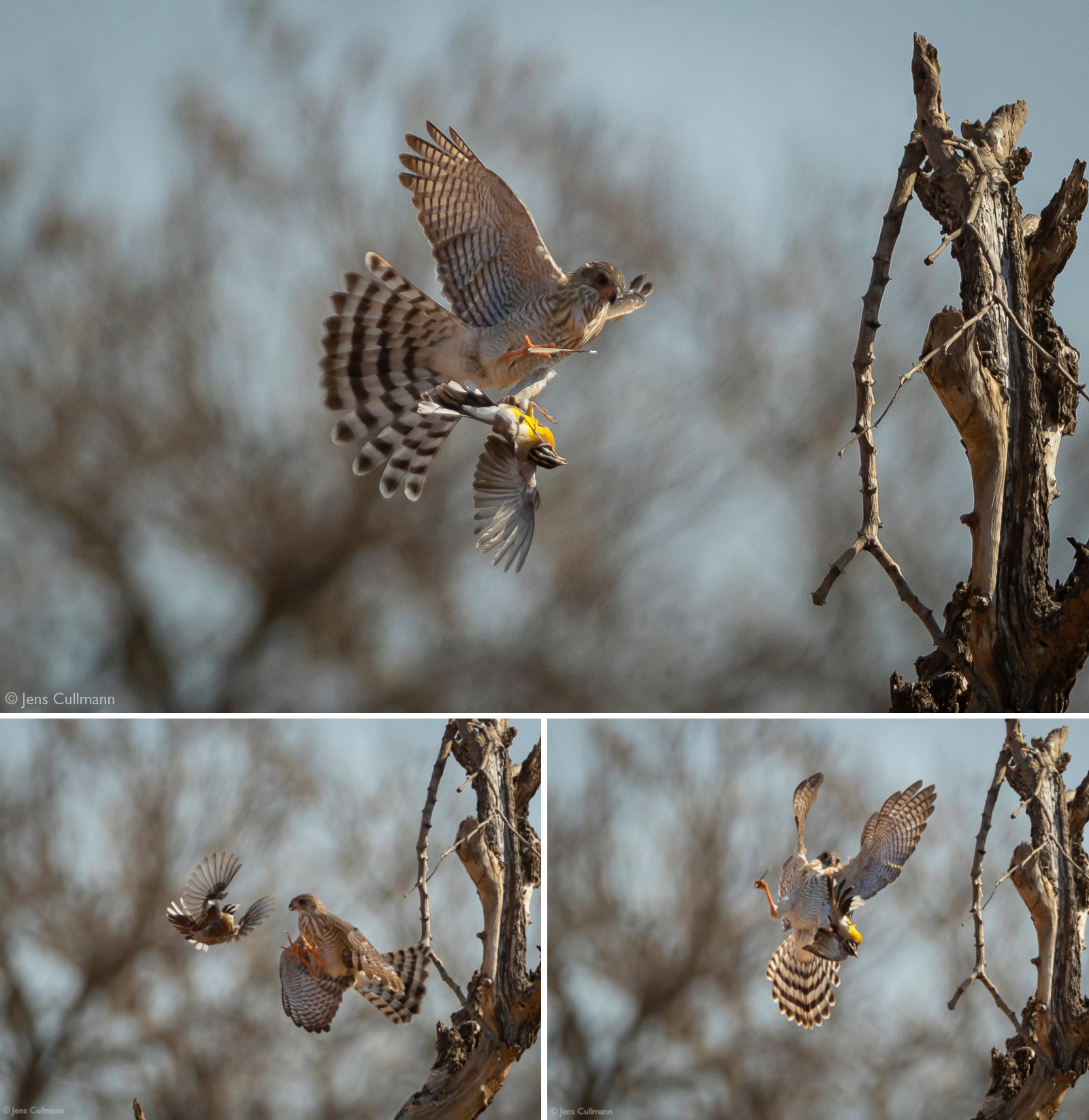 Gabar goshawk catching bird in Klaserie Private Nature Reserve, South Africa