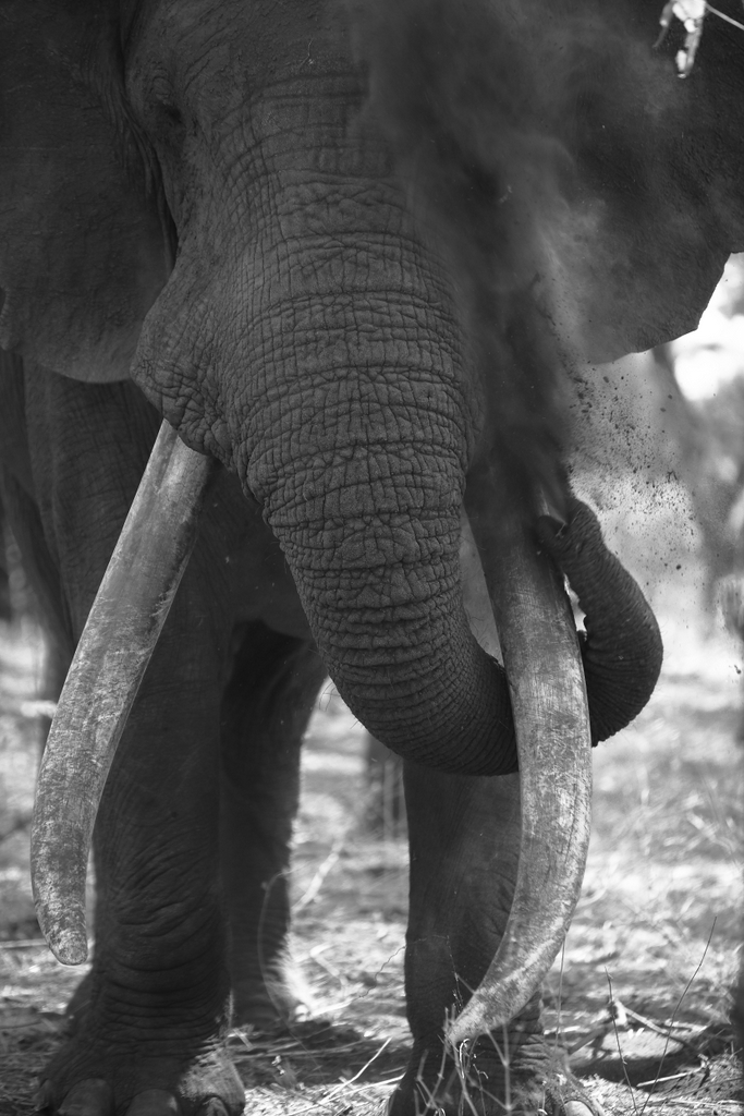 Elephant bull having a dust bath, tusker, Malilangwe Wildlife Reserve, Zimbabwe