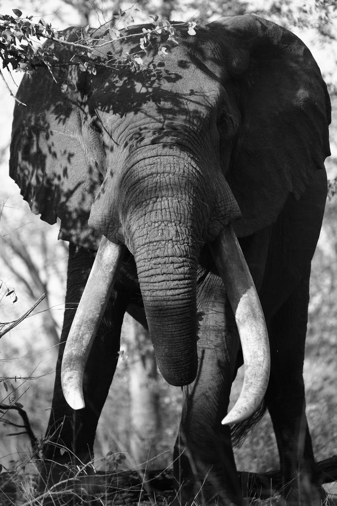 Elephant bull, tusker, Malilangwe Wildlife Reserve, Zimbabwe