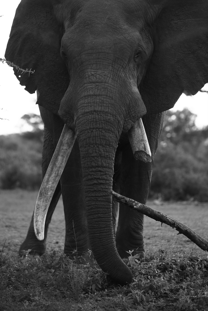 Elephant bull with one broken tusk, tusker, Malilangwe Wildlife Reserve, Zimbabwe
