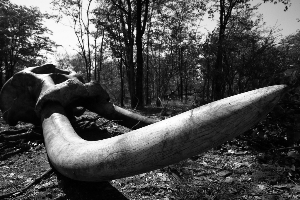 Elephant bull remains, bones, ivory, tusker, Malilangwe Wildlife Reserve, Zimbabwe