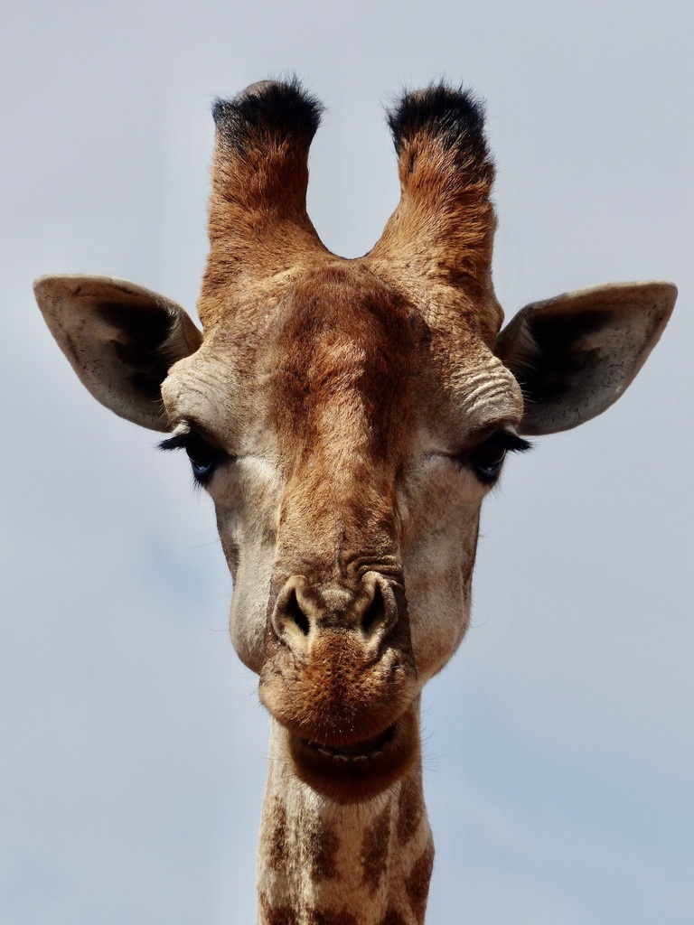 Up close photo of a head of a giraffe