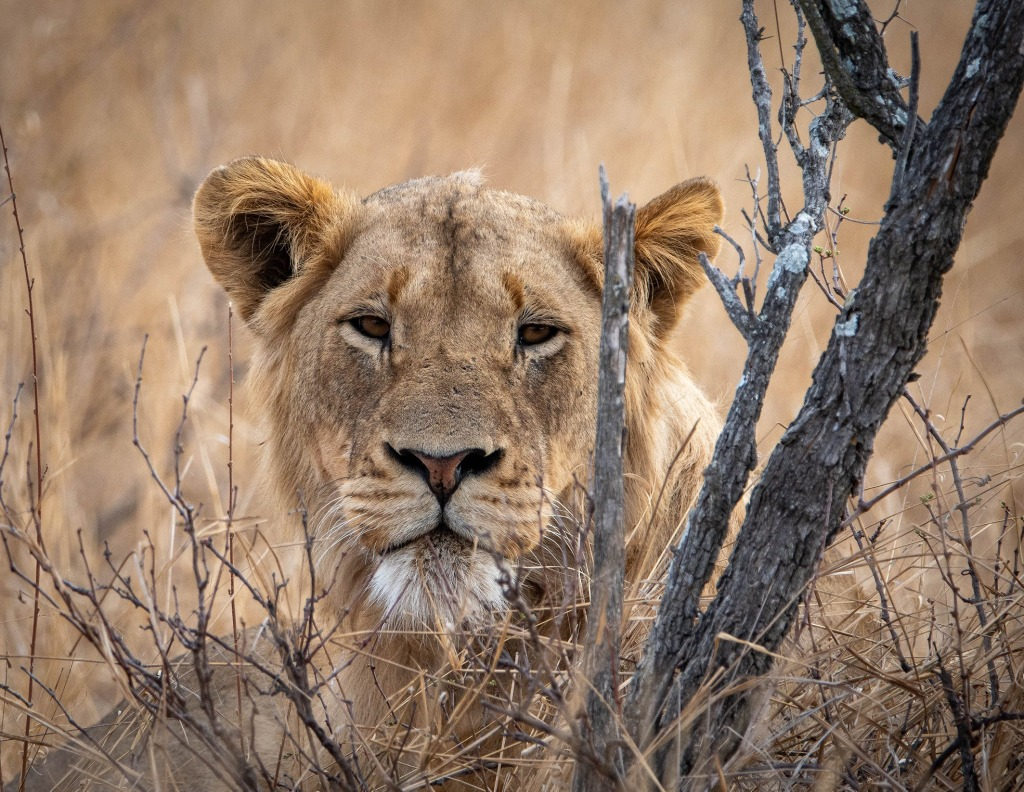 Lion resting in Manyeleti Private Game Reserve, Greater Kruger