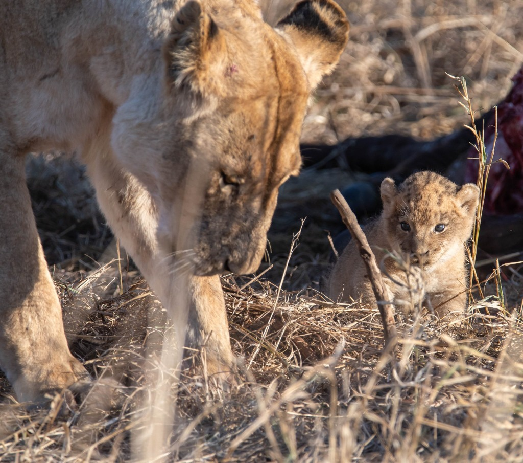 Lioness with cub in Manyeleti Private Game Reserve, Greater Kruger
