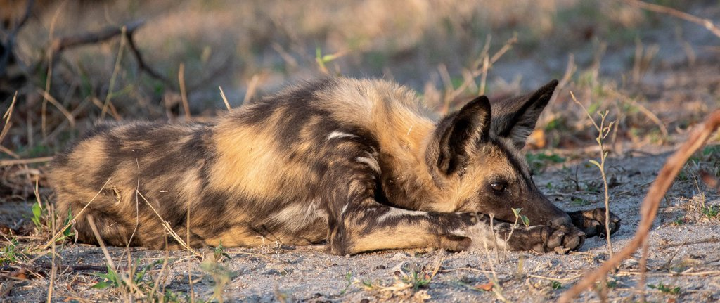 African wild dog, painted wolf, resting in Manyeleti Private Game Reserve, Greater Kruger
