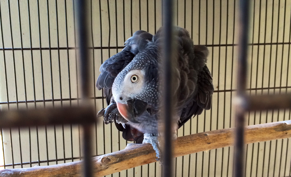 A Timneh grey parrot at a seller in Pretoria, South Africa