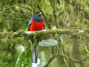 Bar-tailed trogon on safari with Africa Geographic