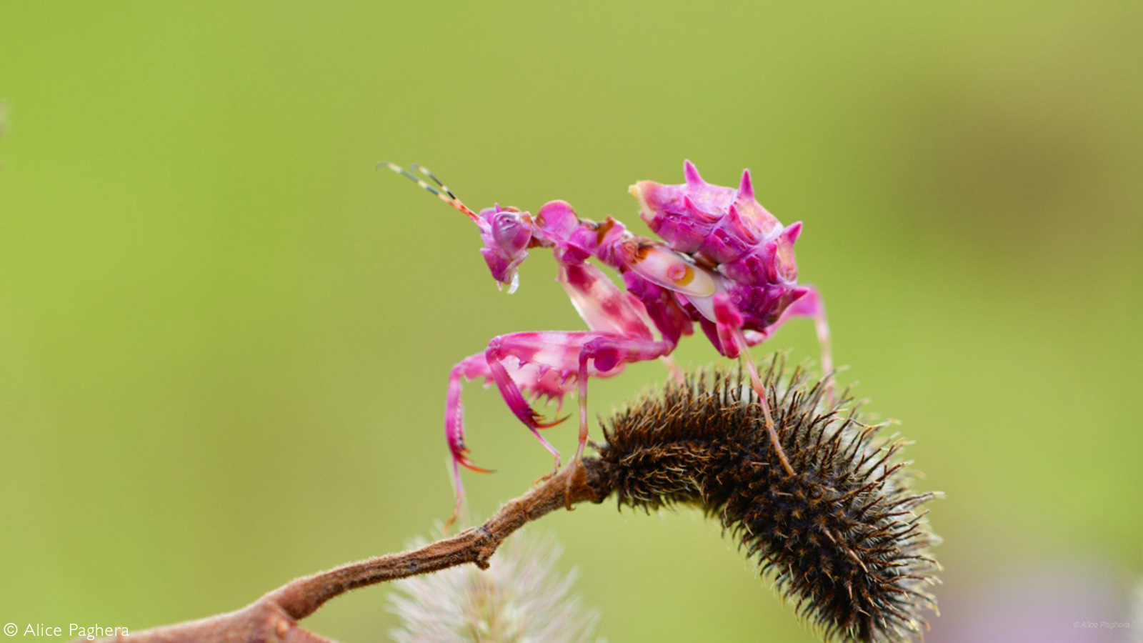 A spiny flower mantis. Odzala-Kokoua National Park, Republic of the Congo © Alice Paghera