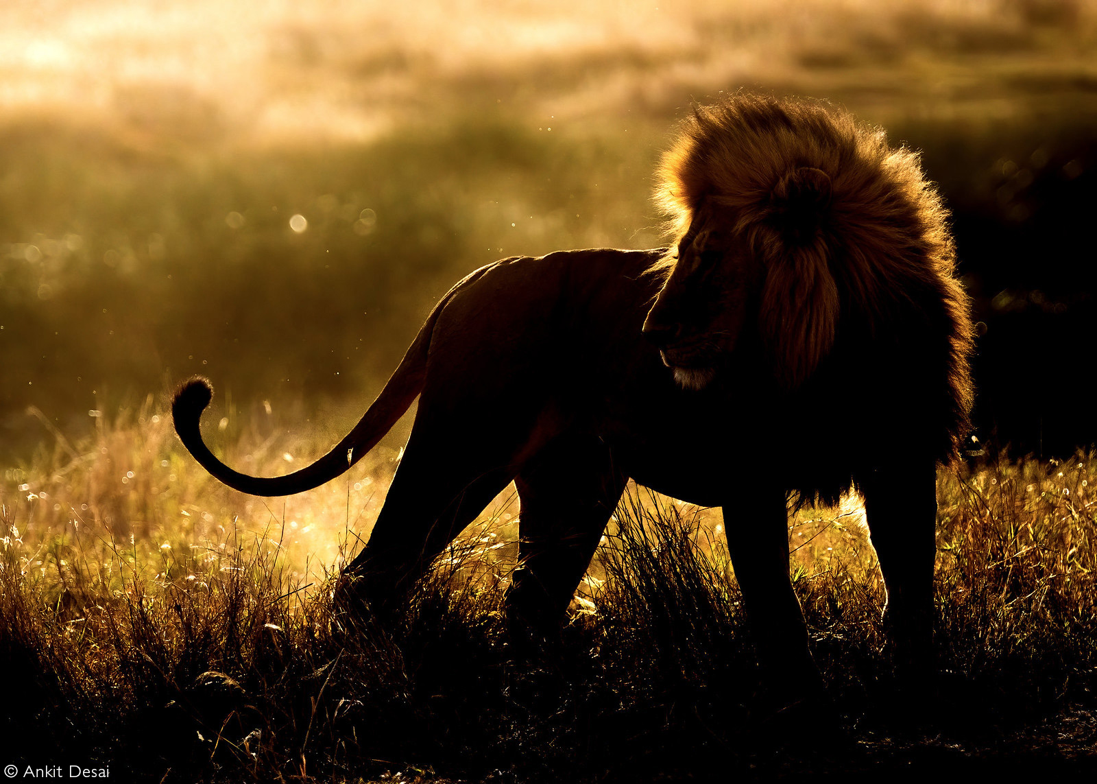 A beautifully back-lit capture of a dominant lion. Serengeti National Park, Tanzania © Ankit Desai