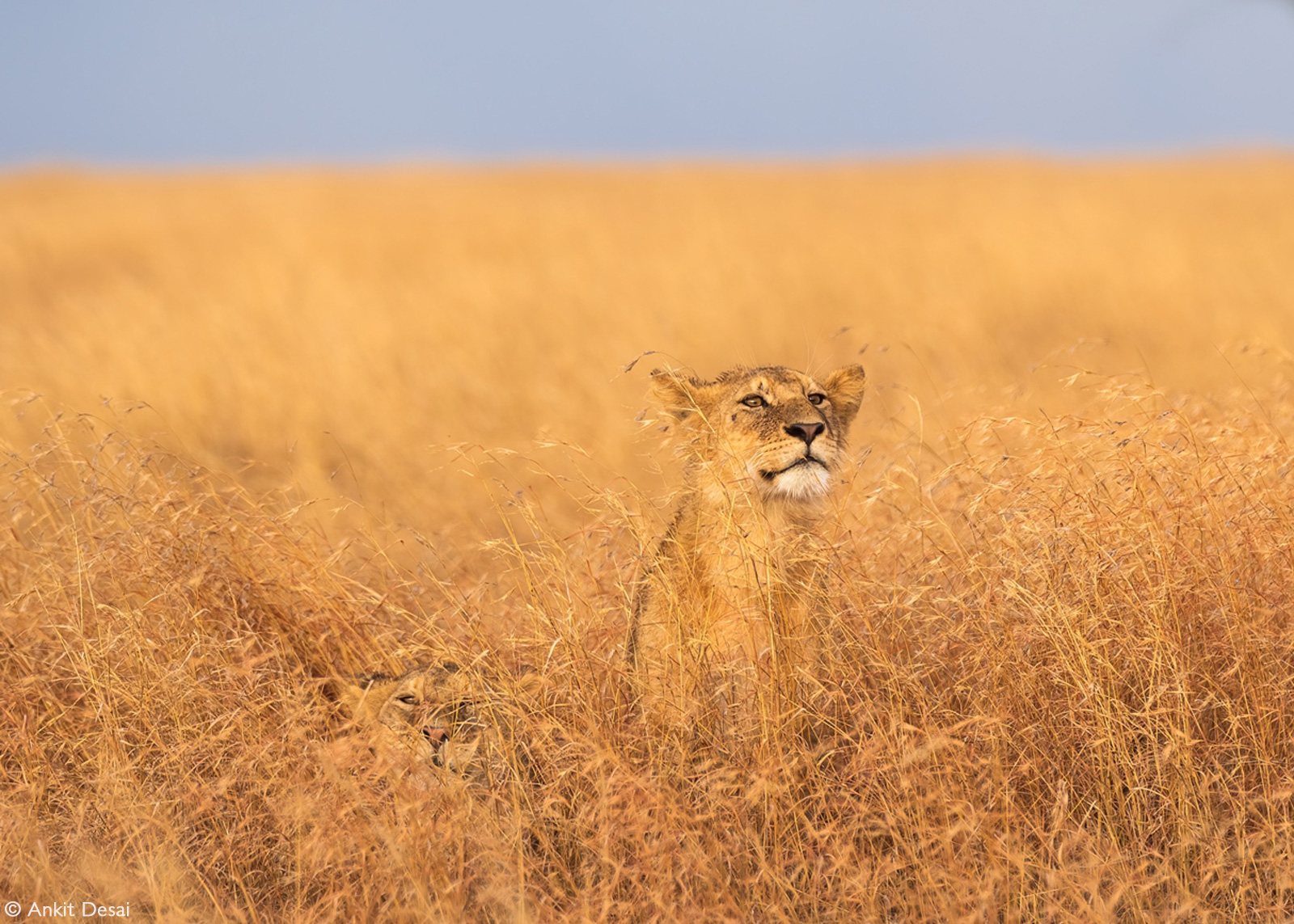 Two lion brothers blend into the dry grass. Serengeti National Park, Tanzania © Ankit Desai
