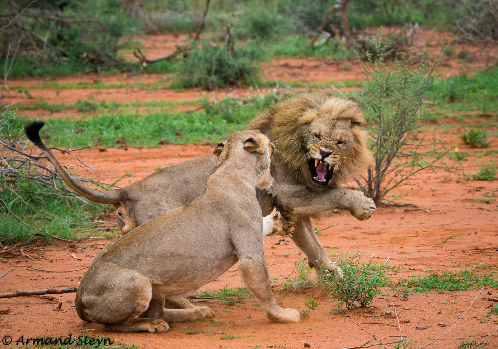 A lion and lioness bring out the claws after mating. Madikwe Game Reserve, South Africa © Armand Steyn