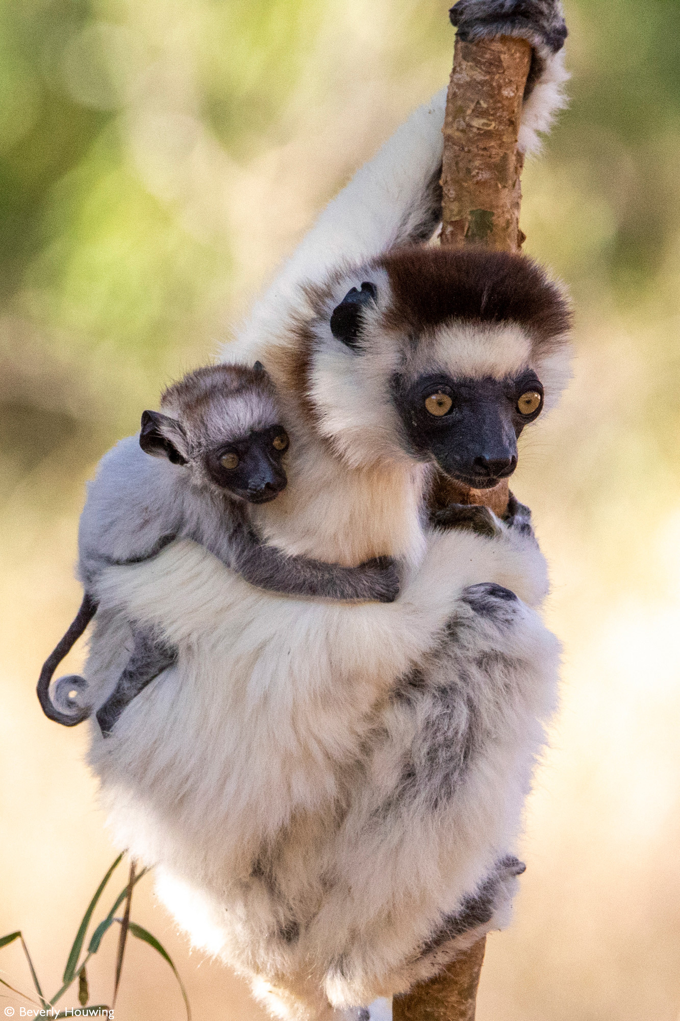 A Verreaux's sifaka clings to a branch with her baby on her shoulder. Berenty Reserve, Madagascar © Beverly Houwing