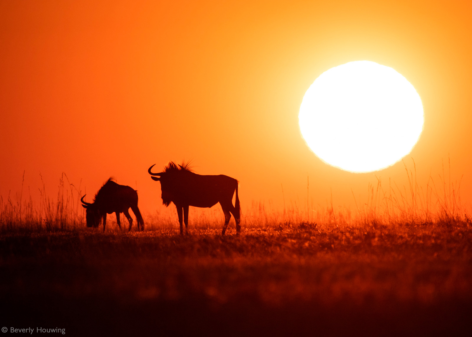 Wildebeest linger near a waterhole as the sun sets, silhouetted in the warm light. Liuwa Plain National Park, Zambia © Beverly Houwing