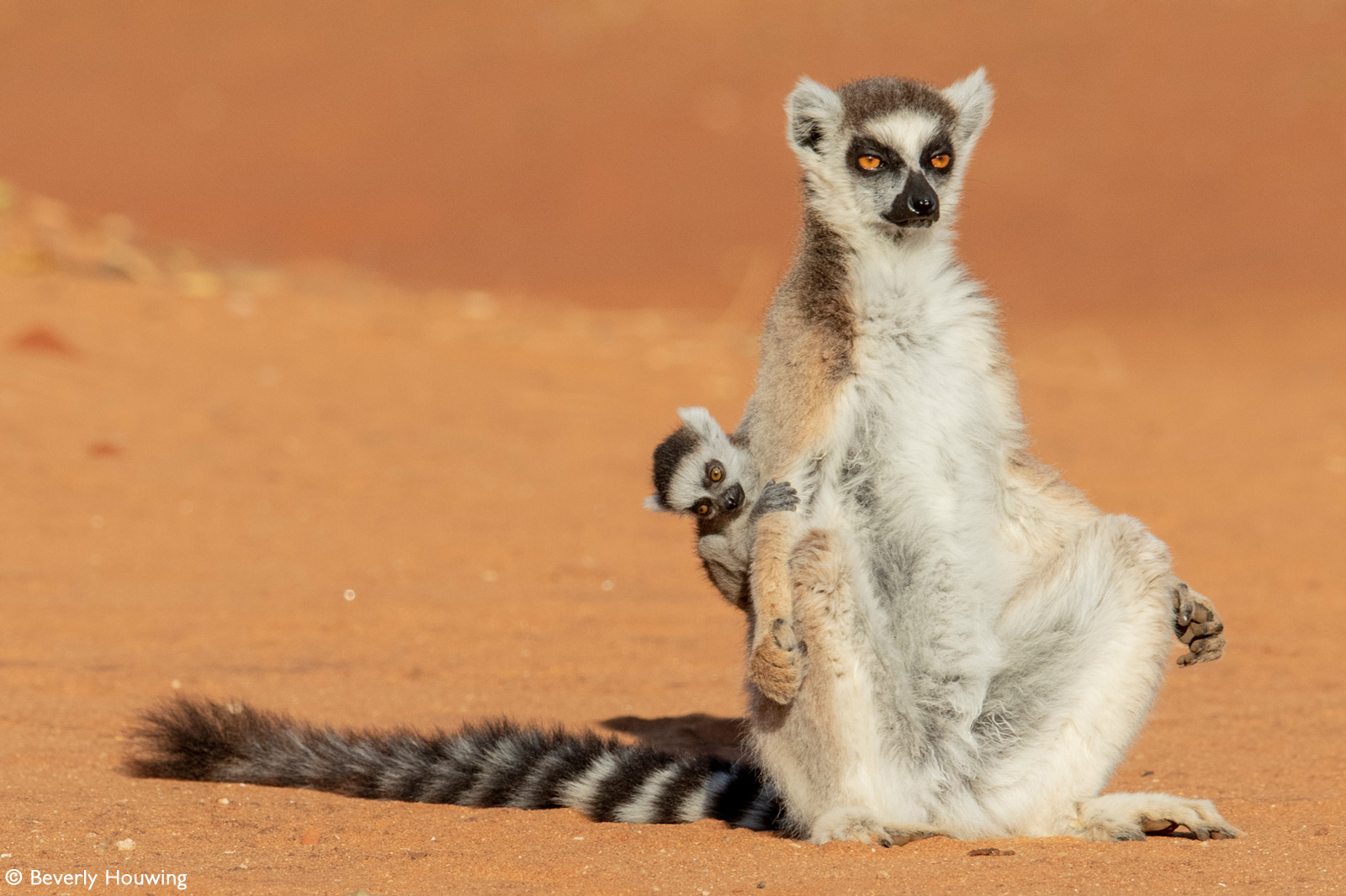 A ring-tailed lemur suns herself while her baby keeps a firm hold on her back. Berenty Reserve, Madagascar © Beverly Houwing