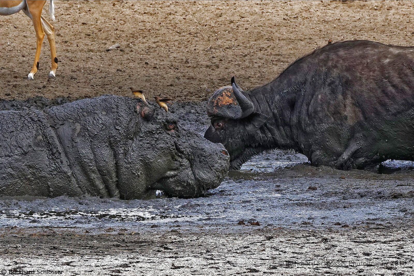 A buffalo enters a muddy waterhole, getting a bit too close to a hippo, during a drought © Burkhard Schlosser