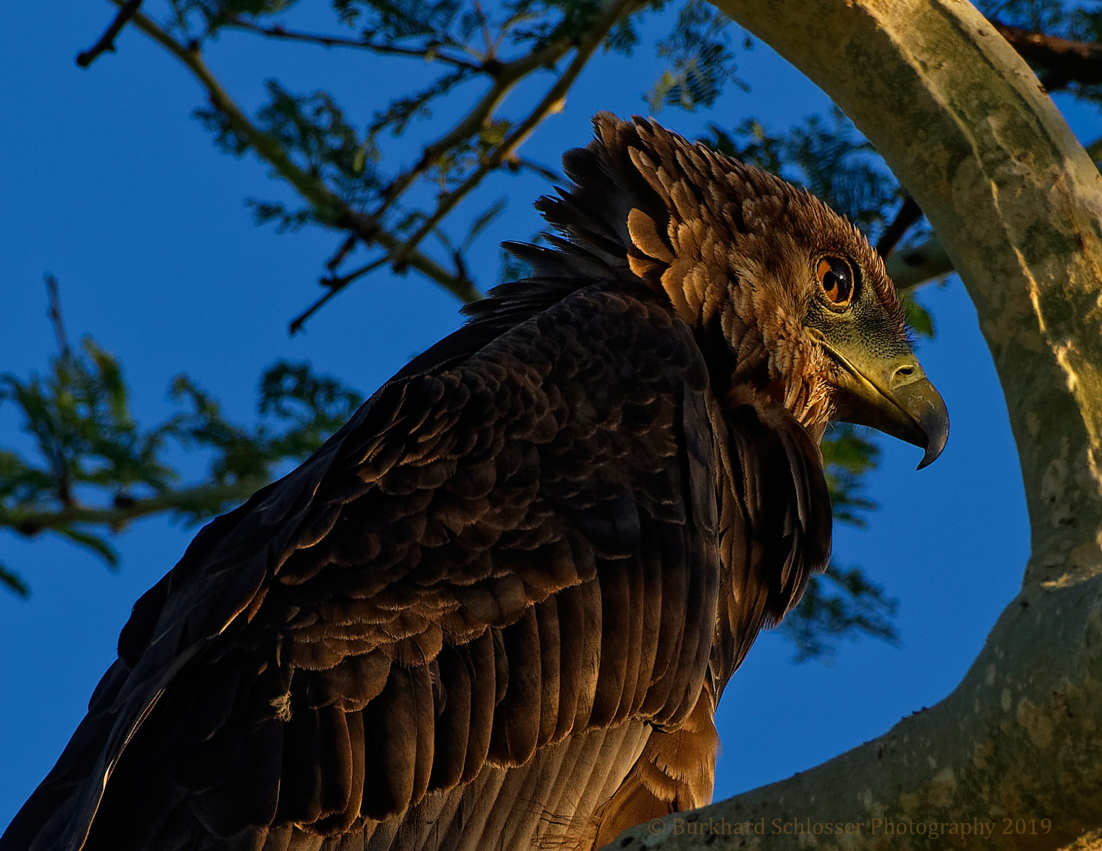A juvenile bateleur. Manyoni Private Game Reserve, South Africa © Burkhard Schlosser