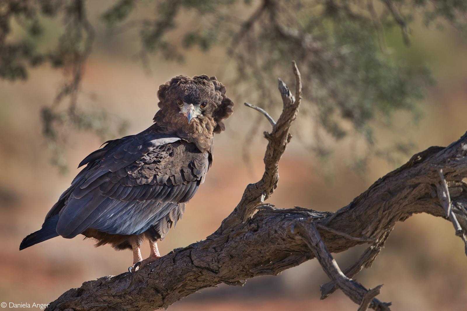 Juvenile bateleur. Kgalagadi Transfrontier National Park, South Africa © Daniela Anger