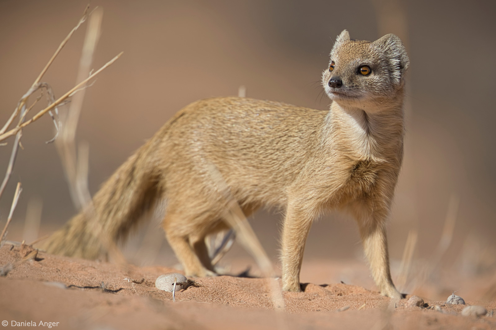 A yellow mongoose passes through camp. Kgalagadi Transfrontier National Park, South Africa © Daniela Anger