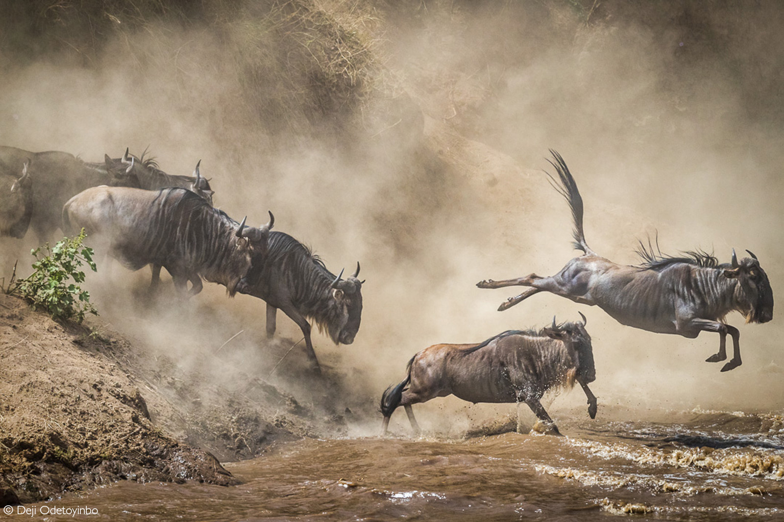 Migrating wildebeest – nature's most accomplished endurance athletes – soar through shadows and dust as the hurl themselves into the Mara River. The few minutes required for this crossing are the most perilous of their hazardous, 800-kilometre trek. Mara Triangle, Kenya © Deji Odetoyinbo