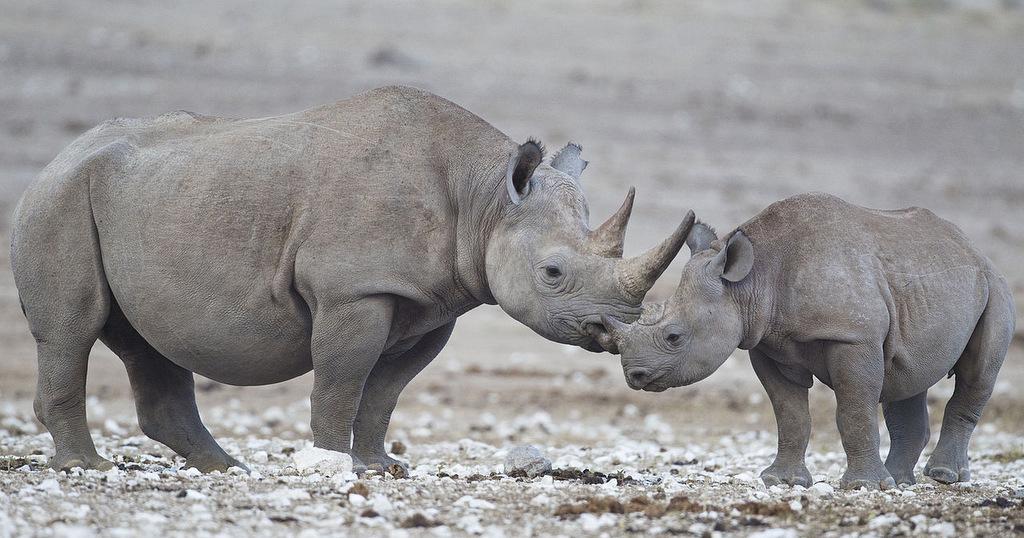 White rhino and calf in Etosha National Park, Namibia
