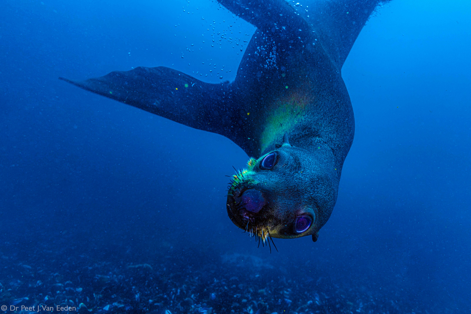A playful seal during a dive near Seal Rock island. Partridge Point, Cape Peninsula, South Africa © Dr Peet J. Van Eeden