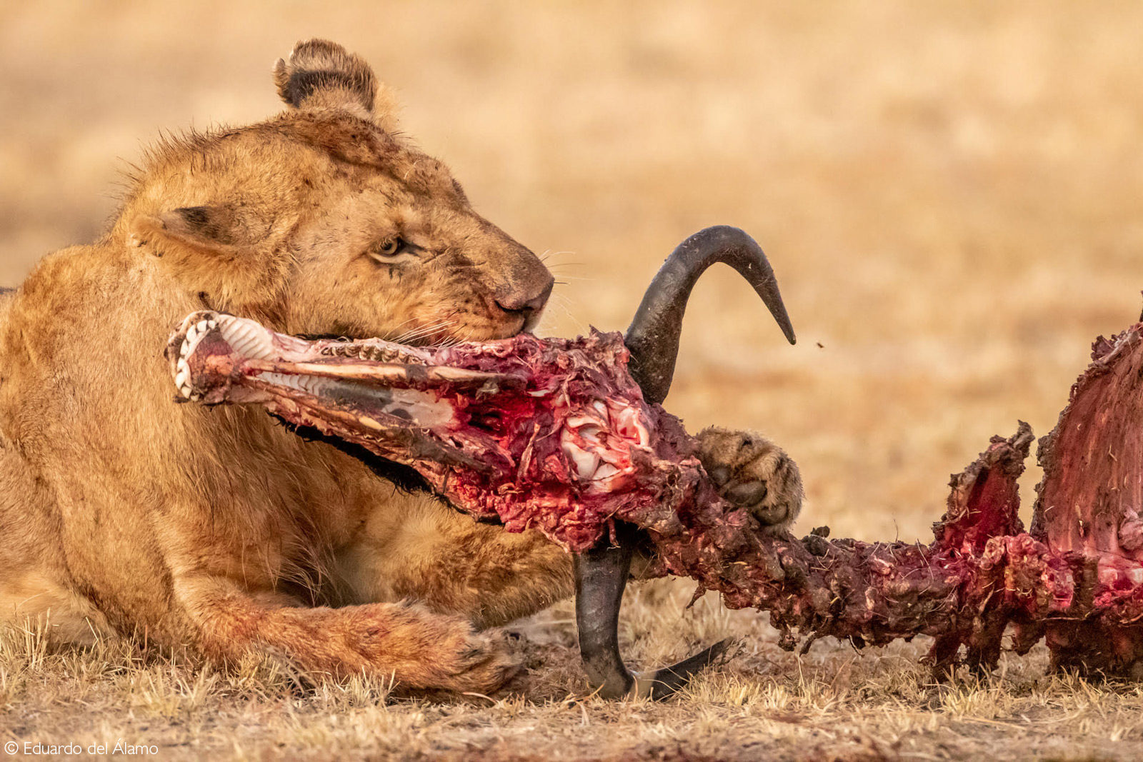 A young lion chews on the remains of a wildebeest. Maasai Mara National Reserve, Kenya © Eduardo del Alamo