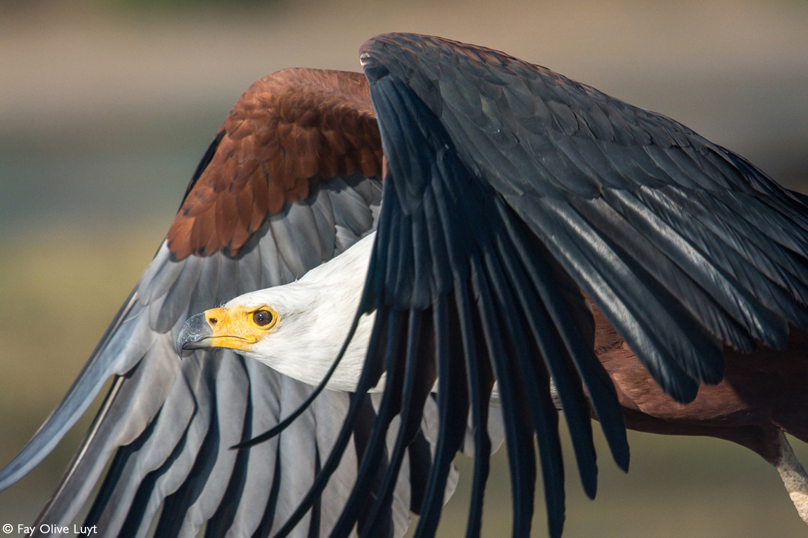 A fish eagle flies by on the Chobe River, Botswana © Fay Olive Luyt