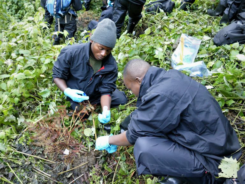 Team members collect faeces at a mountain gorilla nest site for genetic evaluation