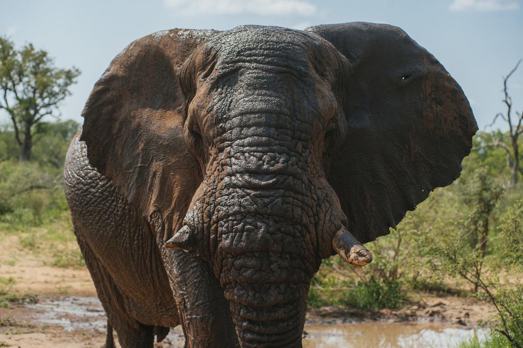 Riff Raff, a mature elephant bull