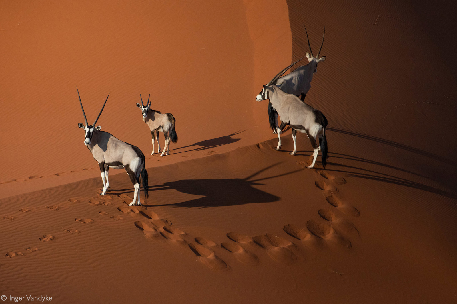 Oryx on the dunes of Sossusvlei at sunrise. Namib Desert, Namibia © Inger Vandyke