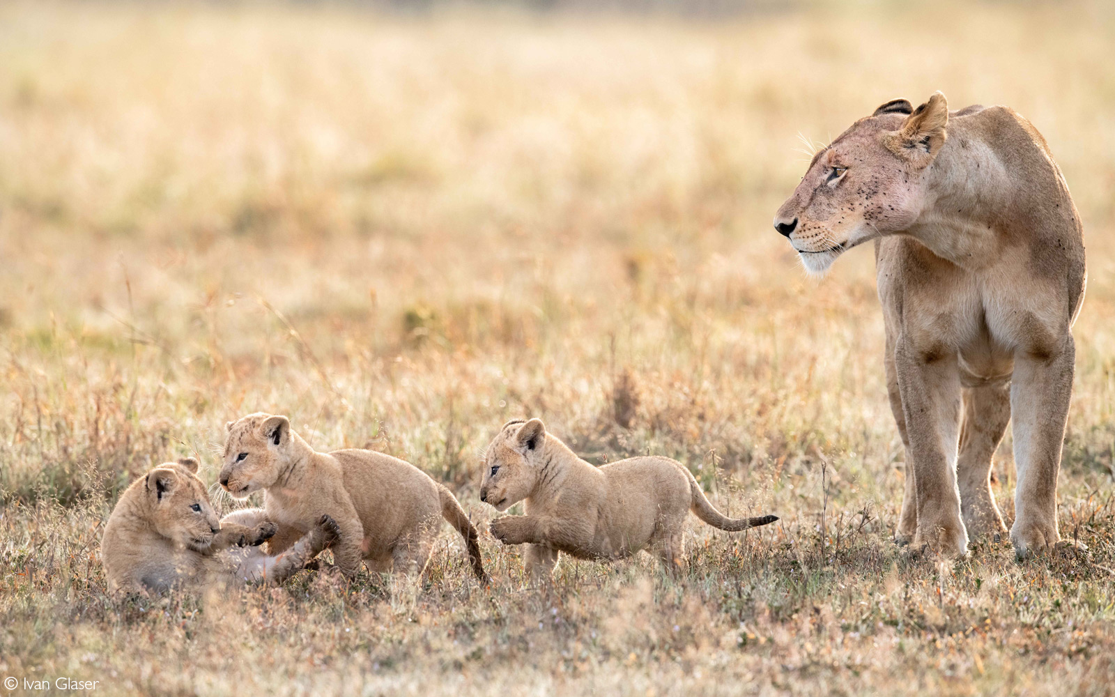 "The lioness named ""Longneck"" and three of her cubs. Maasai Mara National Reserve, Kenya © Ivan Glaser"