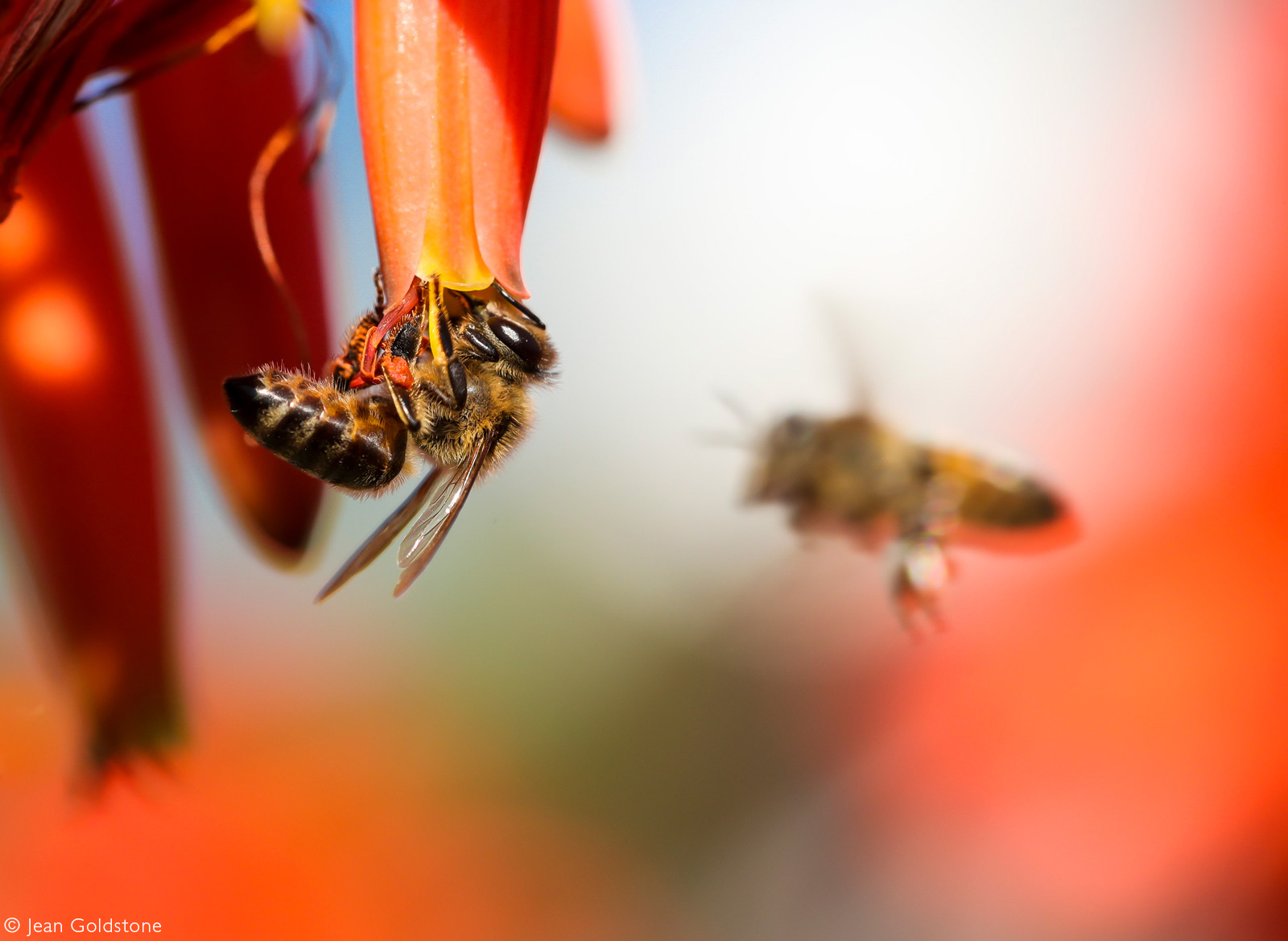 A honeybee busily collects pollen for the hive. Jeffreys Bay, South Africa © Jean Goldstone