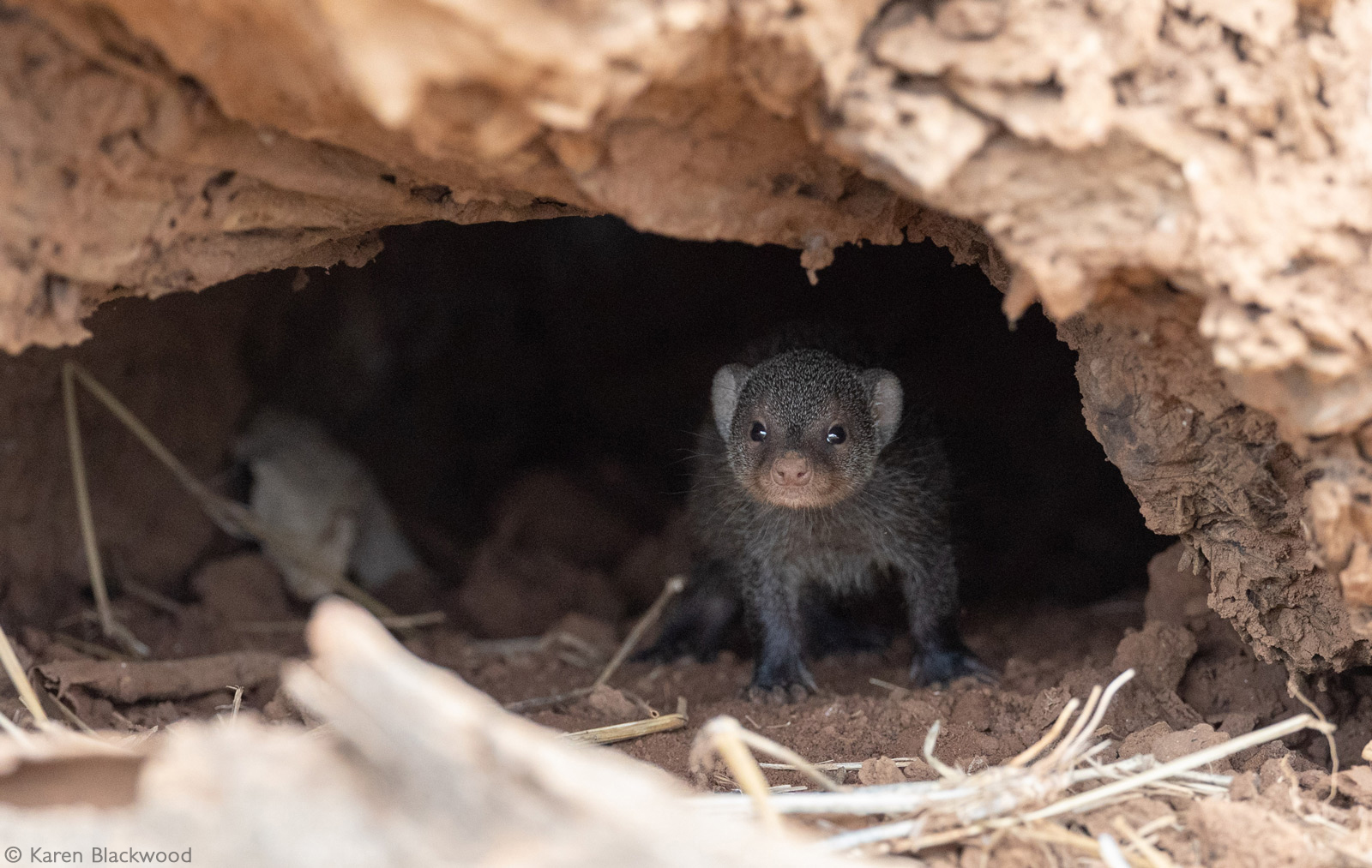 A baby dwarf mongoose peers out from one of the many entrances to the den. Kruger National Park, South Africa © Karen Blackwood