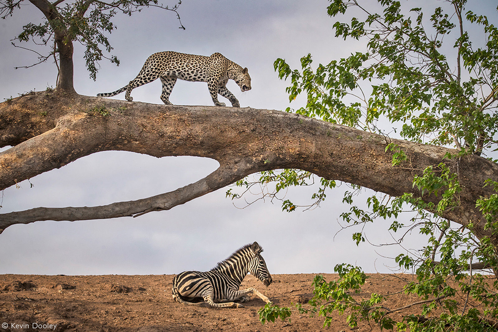 A leopard gets a better view after finding a zebra colt. Mashatu Game Reserve, Botswana © Kevin Dooley