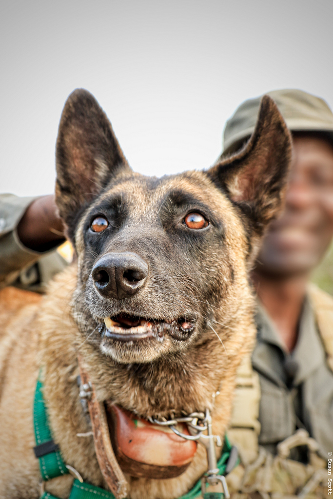 Kruger Special Ranger and K9, anti-poaching unit, dog