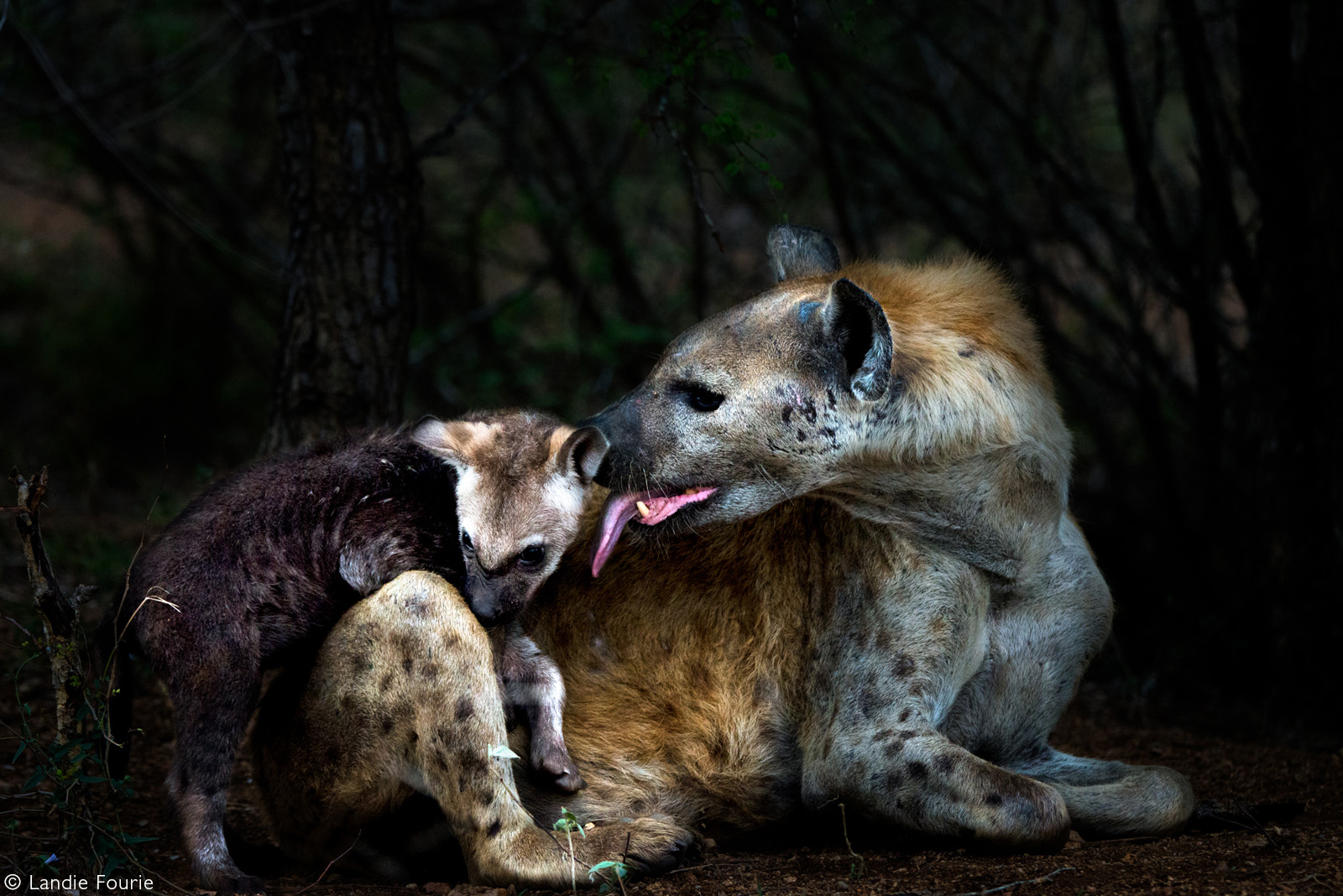 A mother spotted hyena cleans her cub. Kruger National Park, South Africa © Landie Fourie