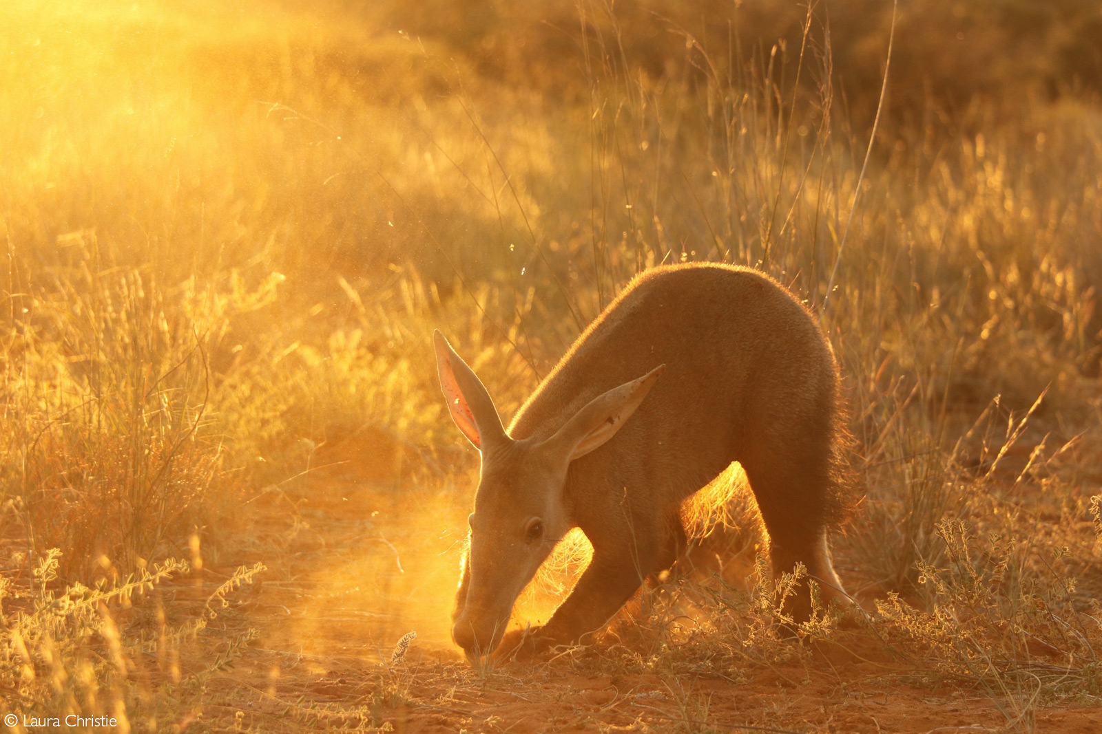 An aardvark foraging in the evening light. In winter these elusive animals tend to come out of their burrows in the afternoon to maximise their feeding time. Southern Kalahari, South Africa © Laura Christie