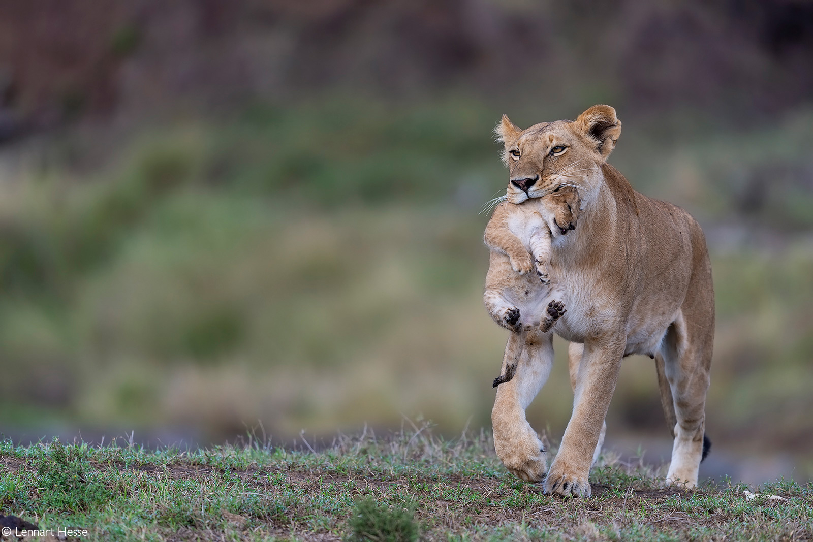 A lioness in the process of moving one of her cubs. Maasai Mara National Reserve, Kenya © Lennart Hessel