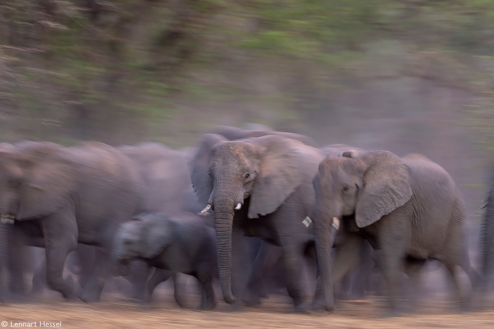 An elephant herd on the move. Zakouma National Park, Chad © Lennart Hessel