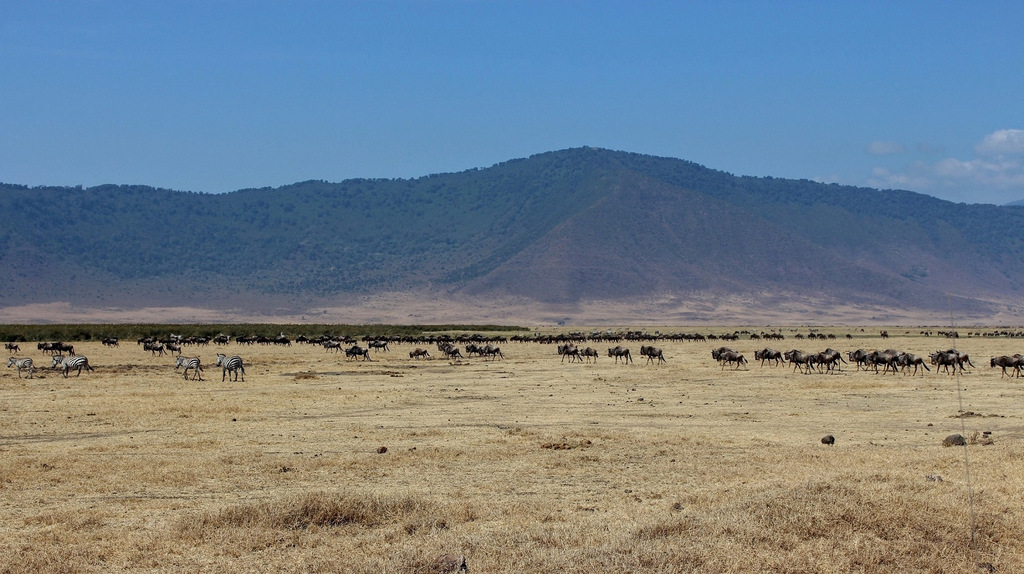Wildebeest crossing the Ngorongoro Crater, Tanzania