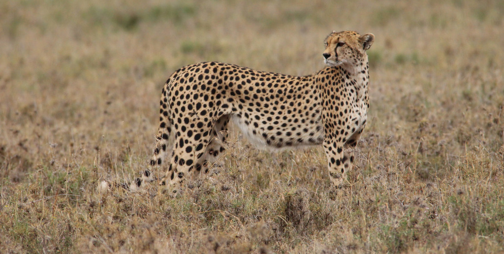 Cheetah in Ngorongoro Conservation Area, Tanzania