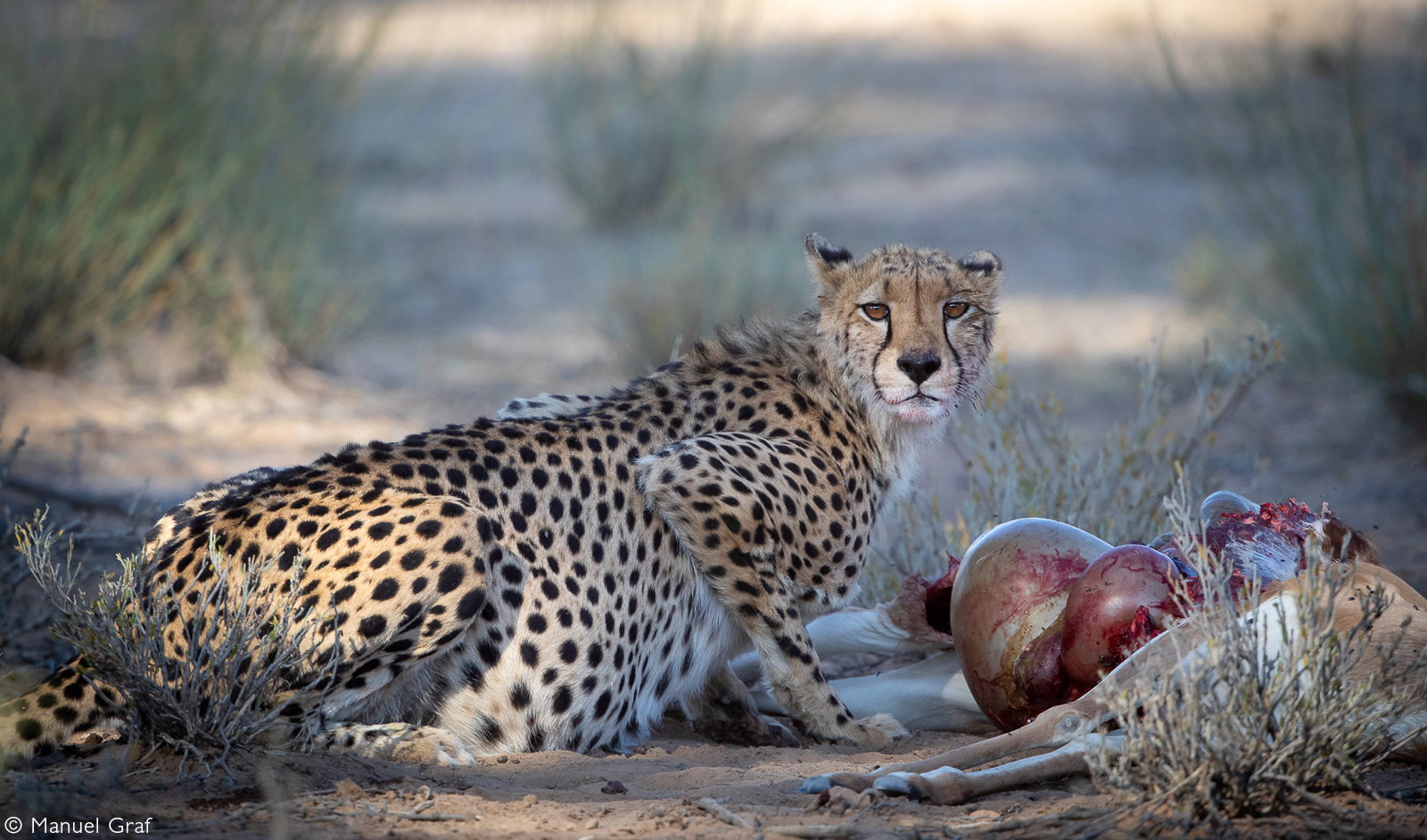 A cheetah with its kill close to Twee Rivieren Camp. Kgalagadi Transfrontier Park, South Africa © Manuel Graf