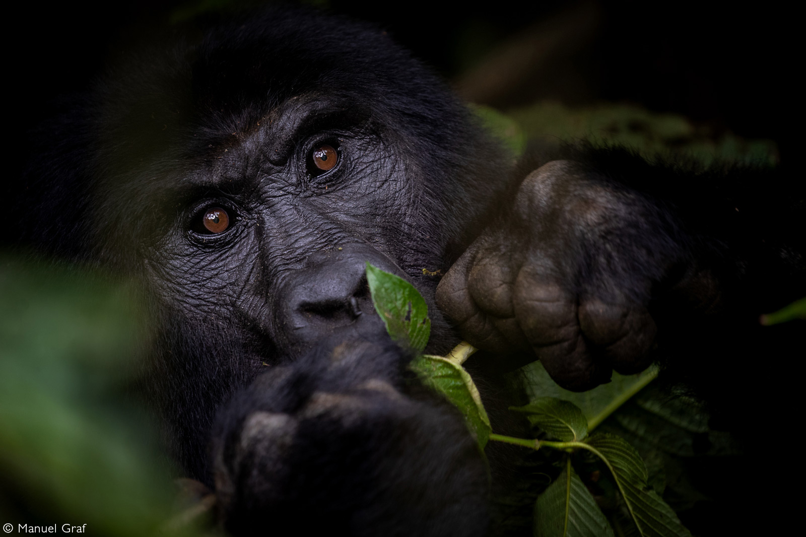 An impressive close up of a mountain gorilla. Bwindi Impenetrable National Park, Uganda © Manuel Graf